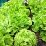Salat – gesund oder nicht? | Teil I