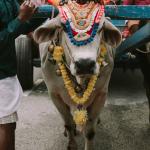 Die heilige Kuh: Ernährung