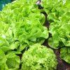 Salat - gesund oder nicht? | Teil I